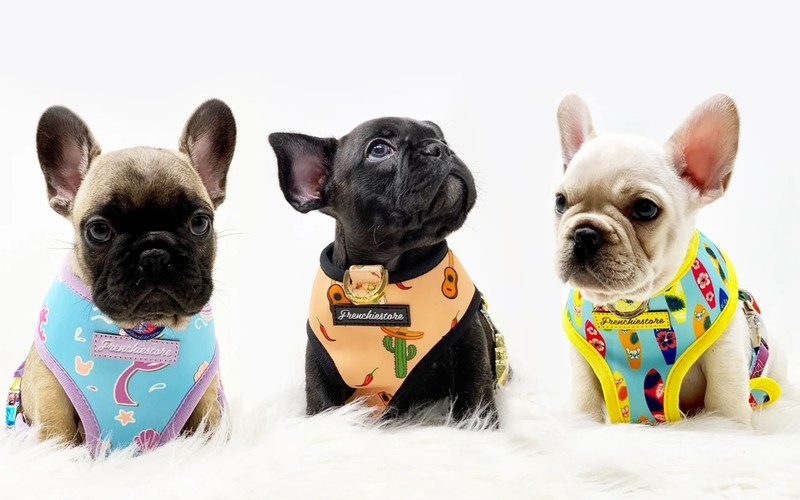 Explore Your Best Times with the French Bulldog